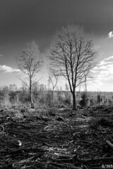 Winter Coppicing (Jamie Medford) Tags: 2019 bw coppice kent trees tunbridgewells winter woodland