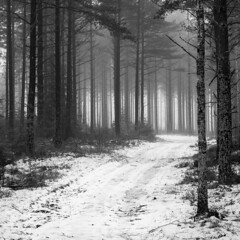 Over there (B.Ferngren) Tags: atmosphere atmospheric bw backlight bill black blackandwhite bole branches calm dreamy ferngren fog forest group landscape milk mist moody morning myname pine pinetree road seasons serene serenity snow sorunda sweden theforest thewoods tranquil treetrunks trees tribe tribes white winter wood straight tree