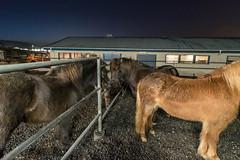 Graduation day from Holtsmúli horse farm (olikristinn) Tags: 2018 27122018 december december2018 holtaoglandsveit holtsmúli holtsmúli1 iceland icelandichorses landsveit rangárþingytra southiceland suðurland hestar horses úrvalshestar
