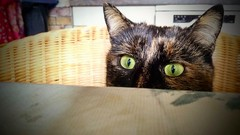 I can see your hotdogs, human! (buidl-lemmy) Tags: bella cat katze schildpatt meow eyes eyeswideopen catseyes green sweet