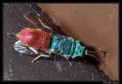 Chrysura sp. (cquintin) Tags: arthropoda hymenoptera chrysididae chrysura