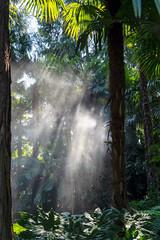 Sunbeams in the Haze (Bephep2010) Tags: 2018 7markiii alpha botanischergarten brissago brissagoislands brissagoinseln dunst farn ilce7m3 isolagrande isoledibrissago palme sel24105g sanpancrazio schweiz sommer sonnenstrahlen sony switzerland tessin ticino botanicalgarden fern haze palm summer sunbeams ⍺7iii ch