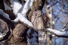 (C.H.Diegel Photography) Tags: wildlife vermontwildlife newenglandwildlife owl barredowl winter cold vermont newengland