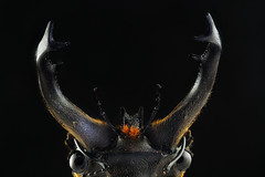 Stag beetle (horns) (Aenima micro) Tags: macro beetle stagbeetle insect image canon closeup dslr digital darkfield tiny macrophotography photomacrography eyes horns nature science stacking helicon