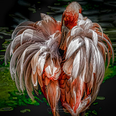Floof (Fiona Katarina) Tags: getolympus flamingo pink green bird feathers plugins plumage white omdemii