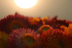 Flower Mountain. (Work_man) Tags: mountain sunrise flower flickr macro