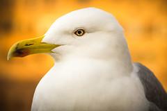 A CityGull's Sunset (++ Martin ++) Tags: rome italy rom italien city gull seagull möwe bird vogel wildlife portrait yellow eyes gelb augen federn feathers • canon 24105mm f4 l is ii usm ef