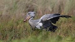 Shoebill in Uganda (Bruno Conjeaud) Tags: balaenicepsrex shoebill uganda mabambaswamps becensabot entebbe