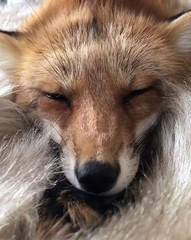 @everythingfox September 15 2018 at 10:18PM (hellfireassault) Tags: foxes everythingfox september 15 2018 1018pm fantasticfoxes november 0224pm