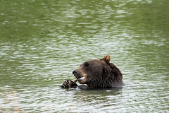Alaskan grizzly bear sits in the water, eating a stick with his two paws and claws (m01229) Tags: alaska portrait grizzly depressed nature water claws brown blackcoat animal animalsinthewild summer wild habitat swimming outdoors isolated eatingstick eating danger face carnivore bears ursusamericanus predator head dangerous mammal blackbear bear fur beautiful furry forest cute big wildlife brownbear bored black wilderness bearsitting
