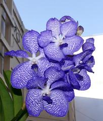Vanda coerulea species orchid 10-18 (nolehace) Tags: fall nolehace sanfranciso fz1000 1018 flower bloom plant vanda coerulea species orchid
