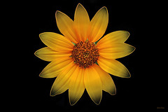 Para vós, amigos! :) (Zéza Lemos) Tags: flores flor flowers jardim jardins algarve amistad amizade portugal pétalas primavera vilamoura amarelo