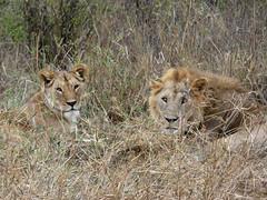East African lion  - Panthera leo melanochaita (Linda DV) Tags: pantheraleomelanochaita africanlion carnivora lindadevolder travel africa tanzania 2018 nature geotagged fauna flora serengeti