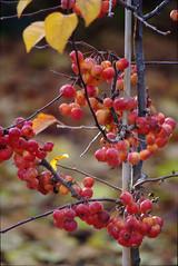 Crab Apples (Ravensthorpe) Tags: york plants trees berries