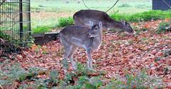 Damherten (Meino NL) Tags: damhert damadama stadsboerderijdehout alkmaar alkmaarderhout noordholland northholland netherlands autumn herfst