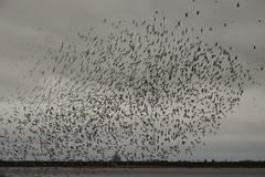 Black tailed Godwit flock (2) (hedgehoggarden1) Tags: blacktailedgodwit flock birds nature wildlilfe sonycybershot welney wwt norfolk eastanglia uk rspb bird sony waders wildlifespectacle