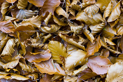 Autumn Leaves (steve_whitmarsh) Tags: aberdeenshire scotland scottishhighlands nature autumn leaf orange brown topic abigfave