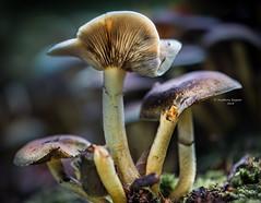 Family tree (Ingeborg Ruyken) Tags: shertogenbosch autumn october mushroom woods berlicum fungi bos flickr herfst ochtend 500pxs wamberg macro forest oktober paddenstoelen natuurfotografie 2018 morning instagram fall