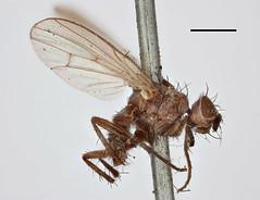 Musca parvula Fallén, 1825 (Biological Museum, Lund University: Entomology) Tags: fallén diptera anthomyiidae musca parvula subhylemyia longula mzlutype00502 taxonomy:binomial=muscaparvula