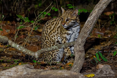 Ocelot #Explored (fascinationwildlife) Tags: animal mammal wild wildlife predator cat feline elusive nocturnal night ocelot ozelot nature natur pantanal brasilien brazil south america südamerika