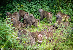 Kenya - 0772 (Madhouse Heaven) Tags: animals kenya mountkenya ourworld travel tourism nature africa safari wild wilderness mountain adventure trek hike climb