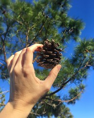 The pine cone doesn't fall far from the tree 😉 (Southern Bliss 79) Tags: florida nature pinecone sunshinetherapy therealflorida floridastateparks