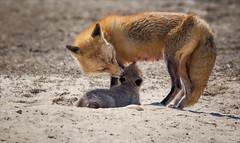 The Circle Game (Kathy Macpherson Baca) Tags: fox animal canine beach kit mother love earth nature wildlife nurture sand dunes longisland mammal predator family thisisus world planet life