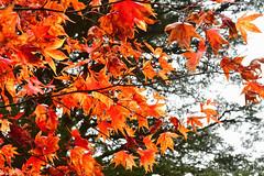 Autumn Acer (Bri_J) Tags: chatsworthhousegardens bakewell derbyshire uk chatsworthhouse gardens chatsworth statelyhome nikon d7500 autumn fall tree leaves acer