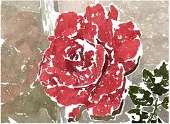 Christ, unser Herr, du Beistand der Gemeine (amras_de) Tags: rose rosen ruža rosa ruže rozo roos arrosa ruusut rós rózsa rože rozes rozen roser róza trandafir vrtnica rossläktet gül blüte blume flor cvijet kvet blomst flower floro õis lore kukka fleur bláth virág blóm fiore flos žiedas zieds bloem blome kwiat floare ciuri flouer cvet blomma çiçek zeichnung dibuix kresba tegning drawing desegnajo dibujo piirustus dessin crtež rajz teikning disegno adumbratio zimejums tekening tegnekunst rysunek desenho desen risba teckning çizim
