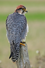Lanner Falcon - Falco biarmicus (Roger Wasley) Tags: lanner falcon falcobiarmicus bird captive birdofprey africa europe portrait specanimal coth5