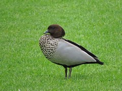 Maned Duck (tedell) Tags: maned duck adult male royal botanic gardens melbourne victoria australia december 2018 bird