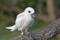 White Tern (Gygis alba) (SharifUddin59) Tags: whitetern tern seabird bird avian perched perchedbird uhm uhmanoa manoa honolulu oahu hawaii nature animal wildlife