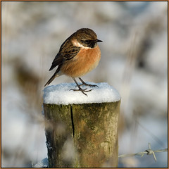Stonechat (image 2 of 2) (Full Moon Images) Tags: wicken fen burwell nt national trust wildlife nature reserve cambridgeshire bird winter snow ice stonechat