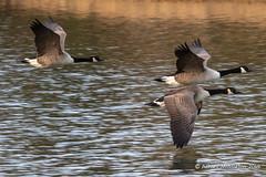 IMG_0313217 (Ashley Middleton Photography) Tags: coatewatercountrypark swindon animal bird canadagoose england europe goosegeese unitedkingdom wiltshire