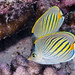 Dot and Dash Butterflyfish - Chaetodon pelewensis