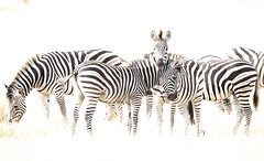 Zebras (Thomas Retterath) Tags: thomasretterath nature natur 2018 safari nopeople okavangodelta botswana africa afrika khwai wildlife highkey zebra equidae pflanzenfresser herbivore säugetier mammals animals tiere epuusquagga