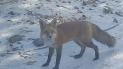 January 1, 2019 - A fox visits a Broomfield home (David Canfield)