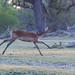 Rote Letschwe Antilope / Red Lechwe Antelope
