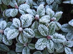 IMG_5650k (dianangelah) Tags: winter eis frost hiver reif kristall christals blatt blätter leaves feuilles natur nature raureif hoarfrost givre geada
