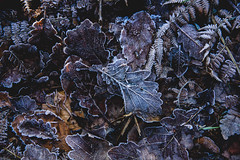 Winter (sfPhotogrphr) Tags: frost like4like outdoor igbestphotos winter leaves nature