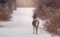 A Doe (Rainfire Photography) Tags: doe deer path lyndeshores cranberrymarsh winter frigid cold snow wildlife nature whitby ontario canada