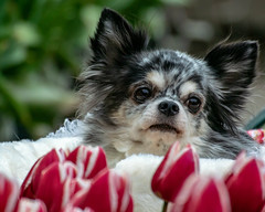 Lovely dog and Tulips (shinichiro*) Tags: 20190112dsc6190 2019 crazyshin nikon1v3 v3 1nikkorvr70300mmf4556 january winter dogs flower tulips enoshima kanagawa japan jp 江ノ島 46820926341 candidate