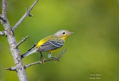 Magnolia Warbler (Jamie Lenh Photography) Tags: nature wildlife warblers blackthroatedgreenwarbler jamielenh ontario canada birds