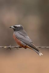 White browed woodswallow (crispiks) Tags: whitebrowedwoodswallow birdlife animals chiltern north east victoria bartleys block mount pilot national park nikon d500 200500 f56