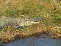 Alligator in Shark Valley (JJP in CRW) Tags: everglades nationalparks florida alligators