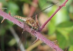 Carefully Resting (Kevin Pendragon) Tags: darter common dragonfly rd brown green wings four big eyes bramble thornes summer heat tyntesfield bristol fast small naturephotography nature