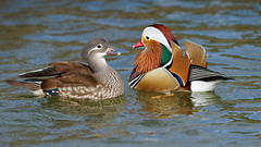 Lovers of the lake (Franck Zumella) Tags: lake lac mandarin duck canard rainbow arc ciel arcenciel beau beautiful wonderful merveilleux bird oiseau nature wildlife gren blue rouge vert bleu color couleur feu artifice fireworks animal red sony a7s a7 tamron 150600 love lover lovers male female