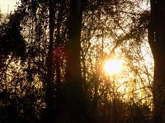 Sun Fades Behind The Trees. (dccradio) Tags: lumberton nc northcarolina robesoncounty outdoors outdoor outside nature natural backyard march thursday thursdayevening evening goodevening nikon coolpix l340 bridgecamera sun settingsun sunset branch branches tree trees treebranch treebranches treelimb treelimbs woods wooded forest silhouette wood sky eveningsky