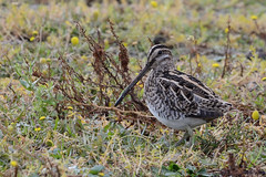 Snipe Titchwell RSPB (JohnMannPhoto) Tags: snipe titchwell rspb