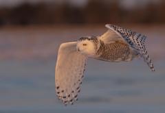 Snowy owl at sunset (Jim Cumming) Tags: snowyowl nature wildlife winter snow avian canada beauty